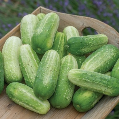 Epsom Salt for Cucumbers [Detailed How-To Guide]