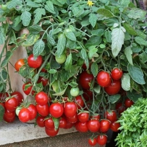 Can Tomatoes Grow in Indirect Sunlight?