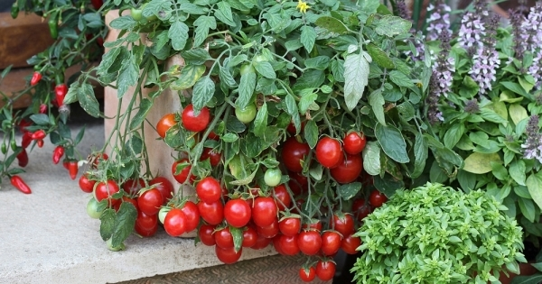 Can tomatoes grow in indirect sunlight
