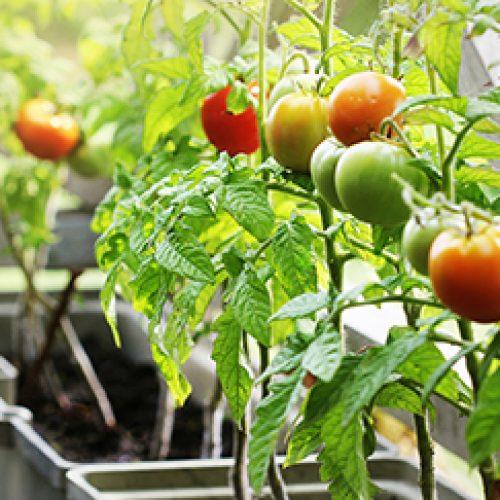 Growing Tomatoes In Grow Bags (Understanding Sizes & Varieties)