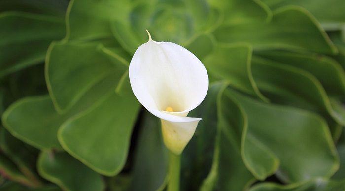 How Long Do Calla Lilies Last