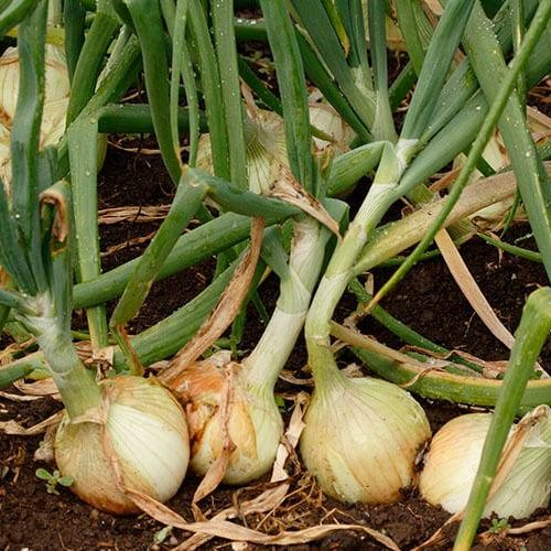 Is an Onion A Vegetable?