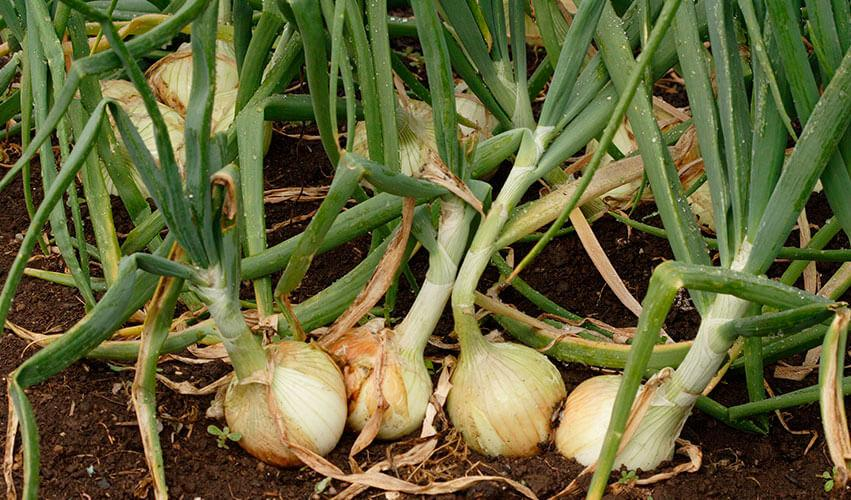 Is an Onion A Vegetable