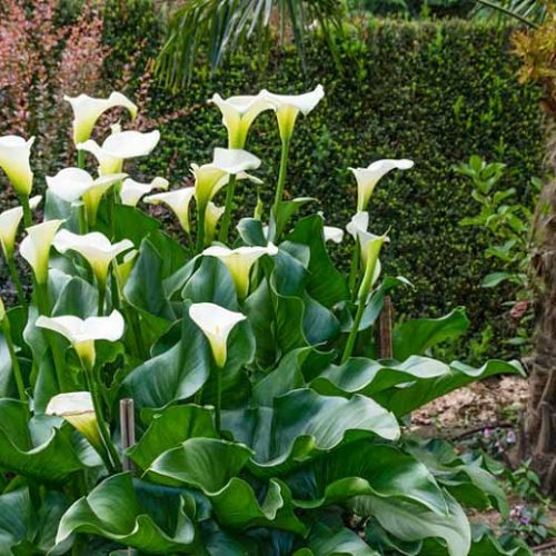 Why are My Calla Lilies Drooping?