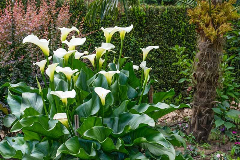 Why are My Calla Lilies Drooping