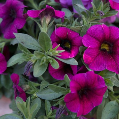Why is My Calibrachoa Dying? [7 Common Problems]