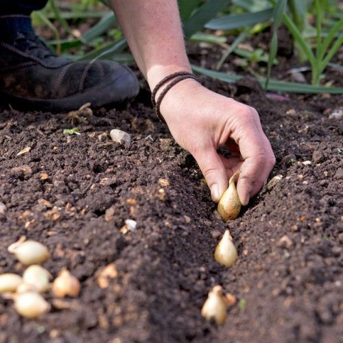 How to Grow Onions from an Onion