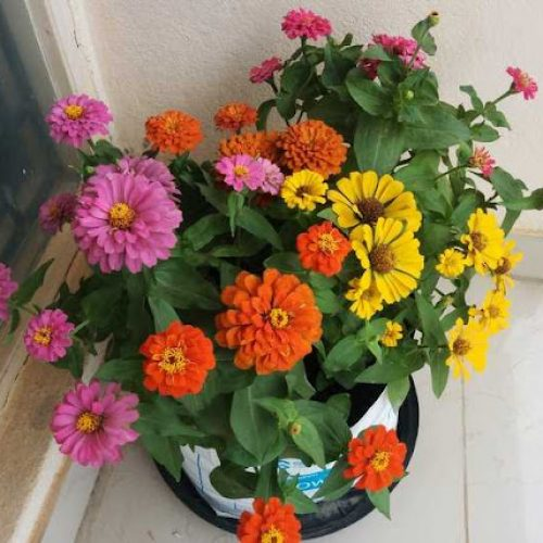 How To Care For Zinnias in Pots [Keeping them blooming]