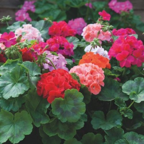 How to Deadhead Geraniums In Five (5) Easy Steps.