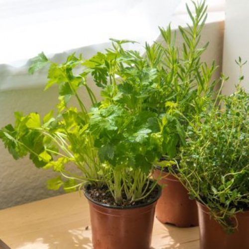How to Grow an Herb Garden Indoors [8 Easy Beginner Steps]