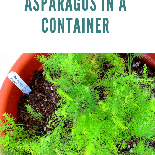 How to Grow Asparagus in a Container [Ultimate Guide]
