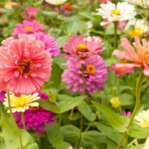 What to Plant with Zinnias [Choosing The Best Companion Plant ]