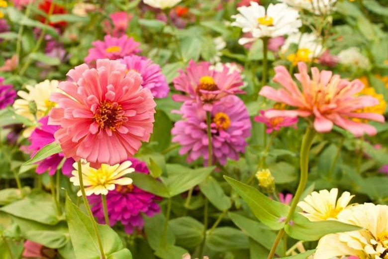 What to Plant with Zinnias