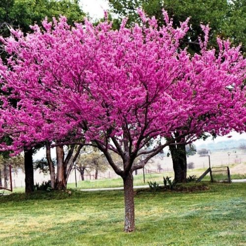Why is My Redbud Tree Not Blooming?