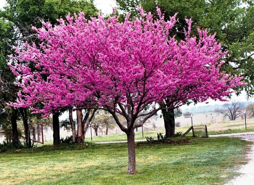 Why is My Redbud Tree Not Blooming