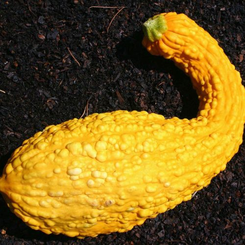 Why is My Yellow Squash Bumpy?