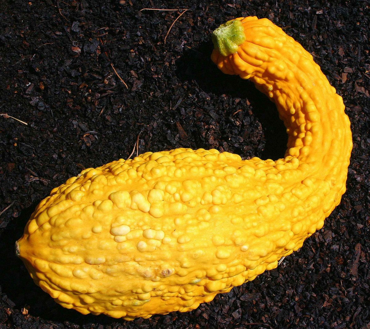 Why is My Yellow Squash Bumpy