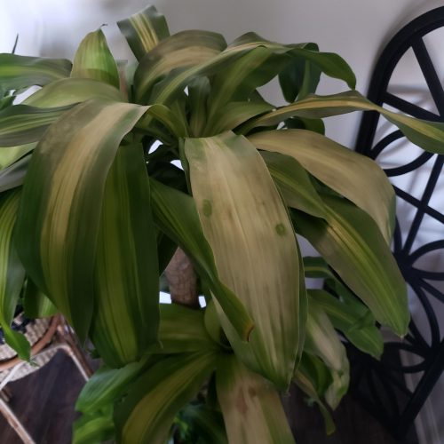 How to Save a Dying Dracaena Plant