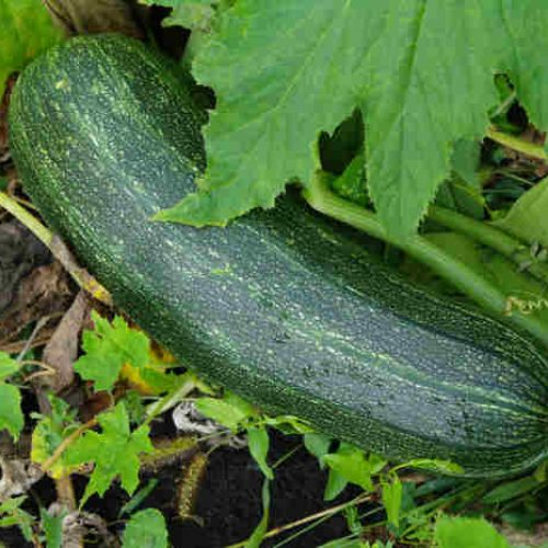 How To Store Zucchini From The Garden [5 Effective Methods]