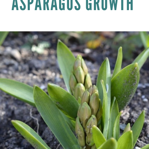 Stages of Growing Asparagus [From Seed/Crown to Harvest]
