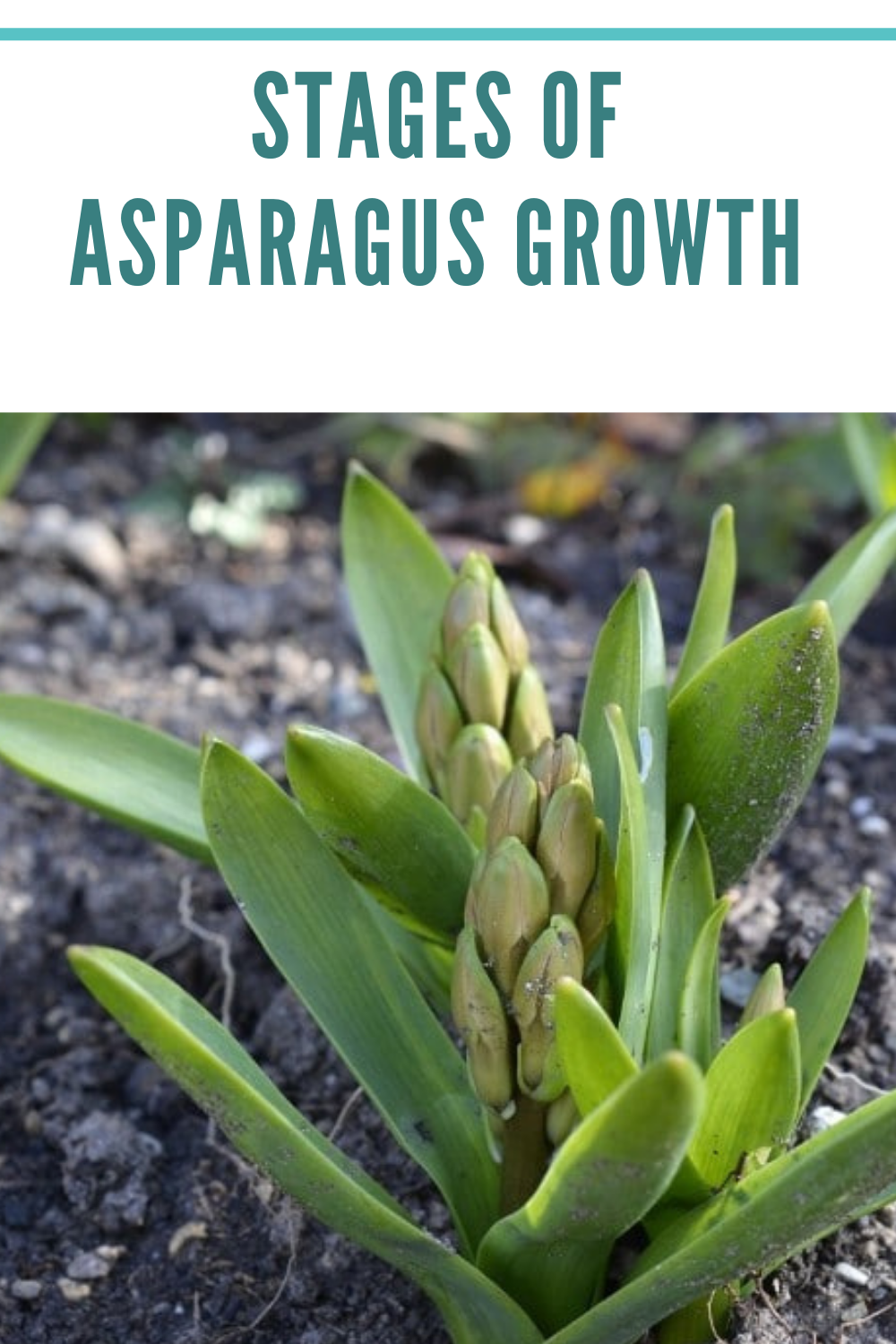 stages of growing asparagus